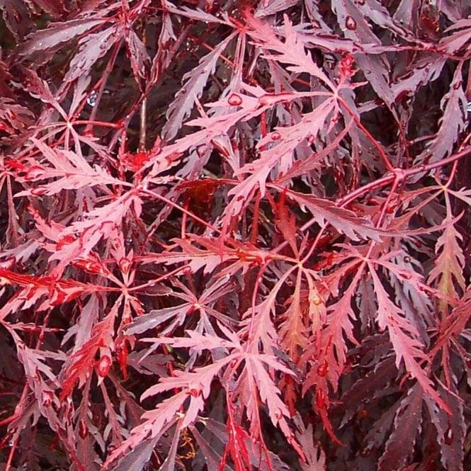 بذر افرا قرمز ژاپنی مجنون بسته 5 عددی Dissected Japanese Maple Seeds