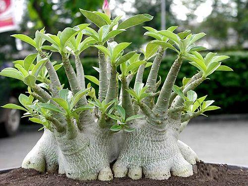 بذر آدنیوم تای سوکوترانوم بسته یک عددی Adenium 'Thai Socotranum' Adenium  'Thai Socotranum' Seeds