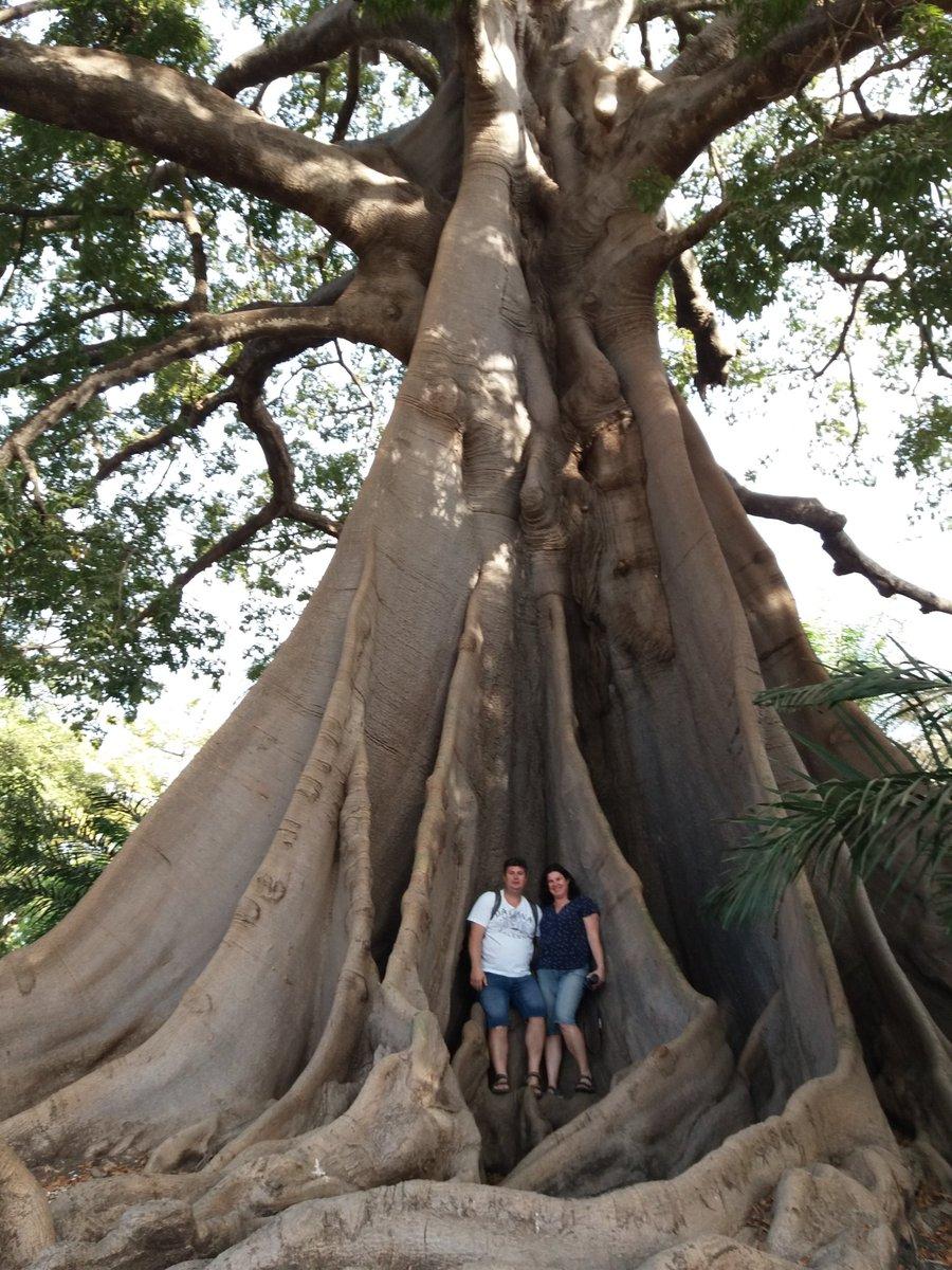 بذر درخت کاپوک بسته یک عددی Kapok Tree Seeds Ceiba pentandra Seeds