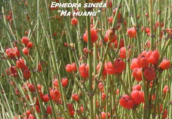 بذر افدرا ماهو آنگ, بسته 5 عددی , Ma Huang Seeds , Ephedra sinica Seeds
